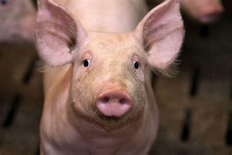 trucs et astuces en cuisine histoire du porc et races leporc com domestication des