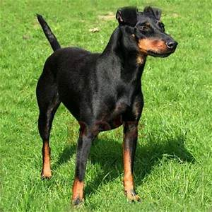 English Toy Terrier (Black & Tan) Breed Guide - Learn ...