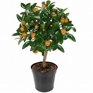 Plante D Intérieur Pas Cher : plantes oranger d 39 intrieur ~ Dailycaller-alerts.com Idées de Décoration
