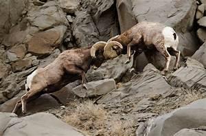 bighorn-Sheep-Ram-Butt-Heads - Improve Photography