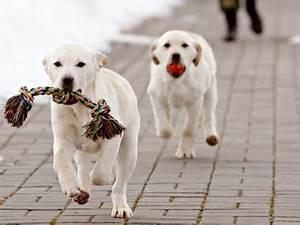 Delhi police training labrador pups to replace star ...