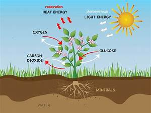Respiration In Plants And Photosynthesis Through Stomata ...