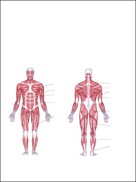 The iliac crest has a large amount of red bone marrow, and thus it is the site of bone marrow harvests (from both sides) to collect the stem cells used in bone marrow transplantation. Human Body Muscles Diagram Labeled - human muscles chart ...