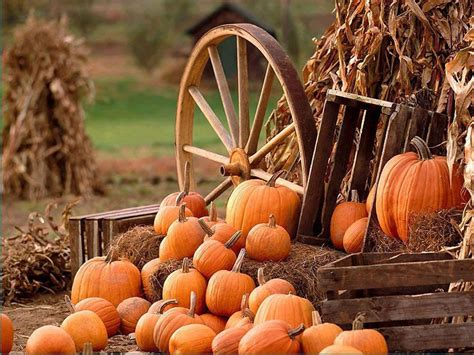 pumpkins and fall pictures thanksgiving pumpkin farm wallpaper thanksgiving pumpkin