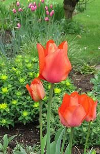 Tulpen Im Garten : neuer gartentraum tulpen im eigenen garten ~ A.2002-acura-tl-radio.info Haus und Dekorationen
