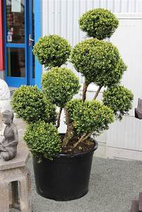 bonsai eibe taxus baccata japan fur japangarten With garten planen mit bonsai baum kosten