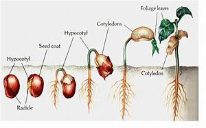 The Seed Stage Of The Plant Life Cycle