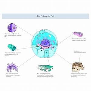 Eukaryotic Cell Diagram