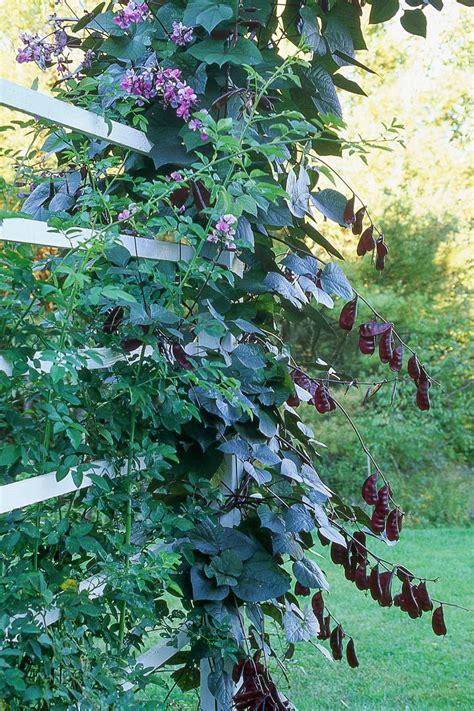 15 Mustsee Fast Growing Vines Pins  Fast Growing Plants