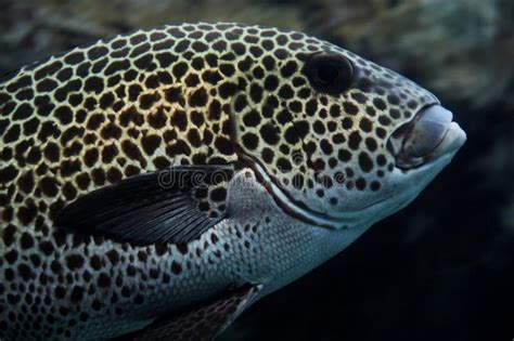 grouper spotted aquarium fish giant
