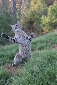 Lynx Rufus Bobcat