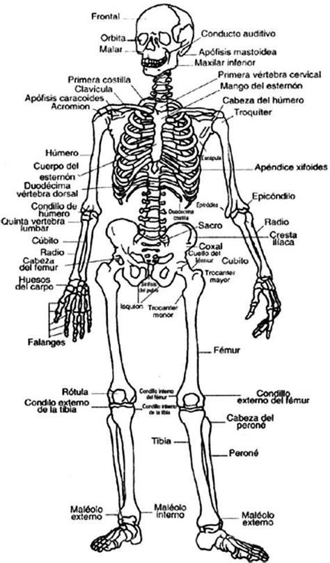 sistema oseo  colorear indicando sus partes en espanol anatomia esqueleto humano