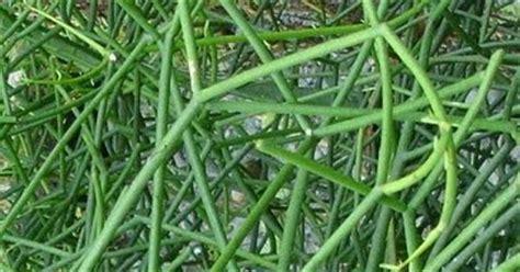 manfaat daun ranting dan getah tanaman patah tulang sebagai tanah2getah