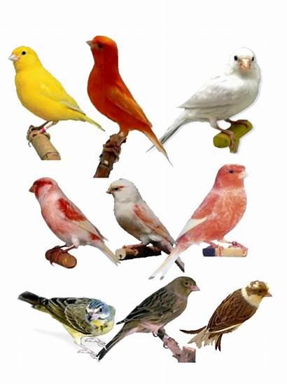 Kenari Burung Yogi Terkait Artikel
