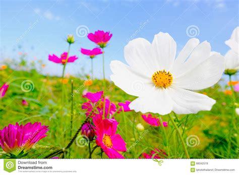 h 246 lzerne tabelle mit rosa cosmea blume unter sonnenlicht