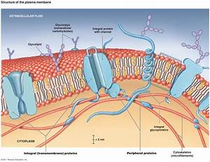 Why Can Only Small Molecules Pass Through The Phospholipid