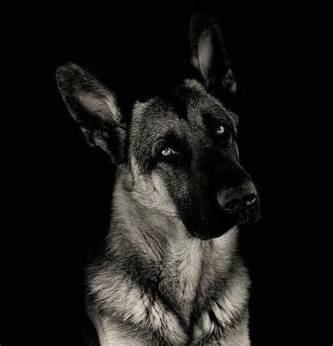 german shepherd      long