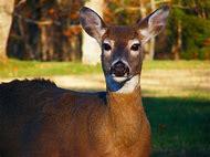 Deer Wildlife Animals