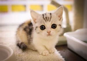 cute munchkin kitten | Sooo Cute! | Pinterest