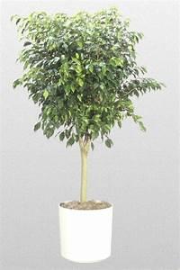 Ficus Benjaminificus benjamina wikipediaficus