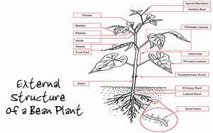 My Baby Plants  Bean