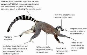 Lemur Diagram Png
