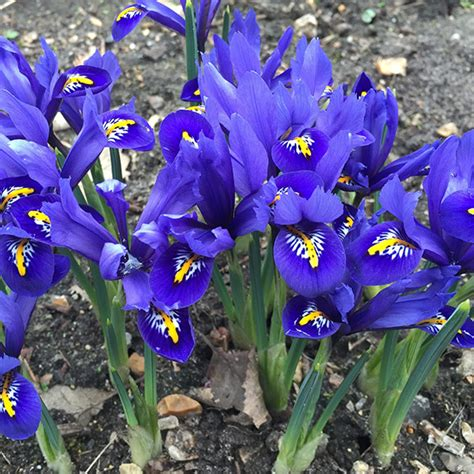buy iris bulbs iris harmony reticulata delivery by