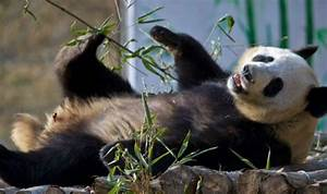 China to release fifth giant panda - India.com