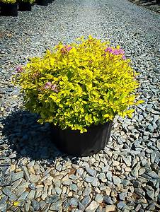 Gold Mound Spirea Shrubs For Sale Online