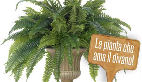 piante da interni  curare le felci da appartamento