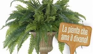 Felce da appartamento: pianta cascante, ama l'ombra e stare in un posto chiuso, praticamente