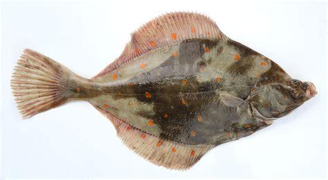 cuisiner le carrelet les poissons cuisine à l 39 ouest