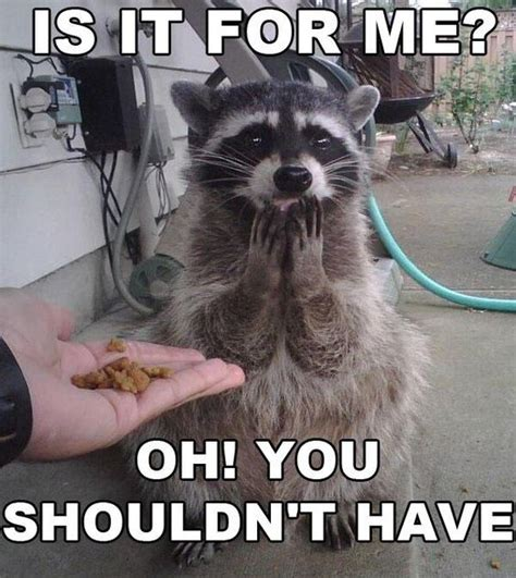Funny Raccoon Meme - 2damnfunny 187 funny images memes gifs 187 raccoon bandit can t believe he can quit being a
