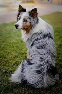 The smartest dog breeds.... Border Collie (Blue Tricolor ...