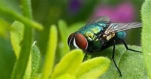 Comment Chasser Les Mouches : 13 astuces naturelles pour chasser les mouches d finitivement ~ Melissatoandfro.com Idées de Décoration