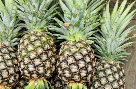 pineapple cultivation guide   successful pineapple
