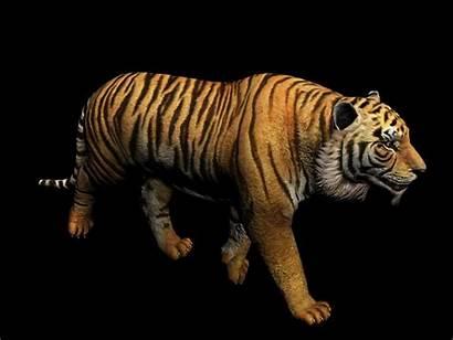3d Tiger Animation Bengal Walk Eat Biped