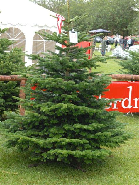 a noble or douglas fir 7ft led tree best 25 noble fir tree ideas on fraser fir balsam fir tree and balsam