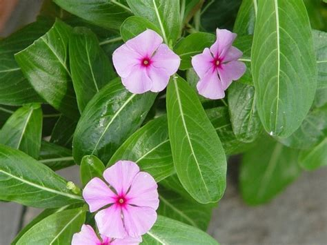 cural impatance of rosy periwinkle medcinal plant