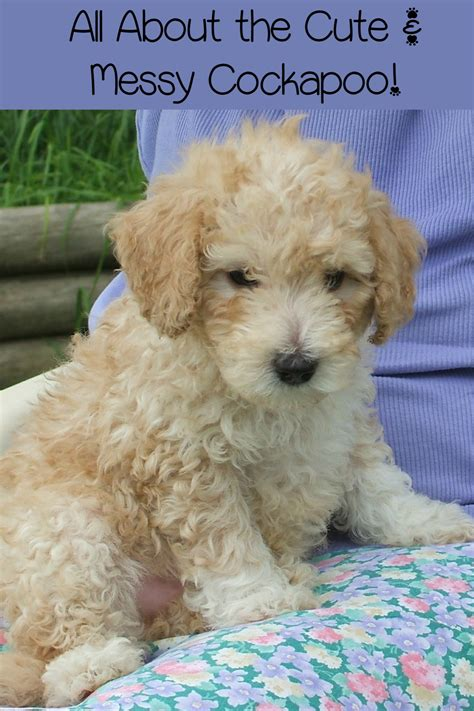do mini cockapoos shed cockapoo small hypoallergenic dogs that messes