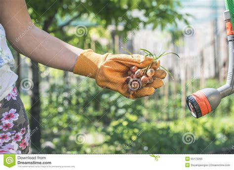 hold plant bulbs in a garden stock photo image