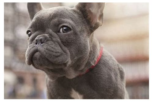 french bulldog image download