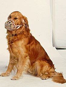 Are Golden Retrievers Becoming More Aggressive Natural