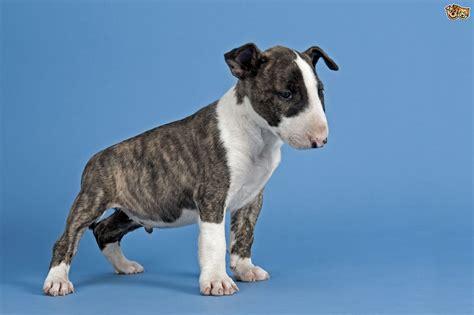 terrier shedding a lot 100 terrier shedding a lot boston terrier