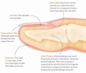 The Anatomy Of A Finger And Nail - Health