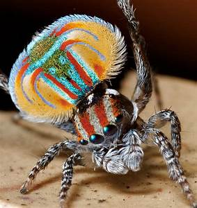 The Deadly Artistic Tightrope of the Peacock…Spider ...