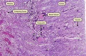 Labeled Kidney Slide Renal Tubules | www.pixshark.com ...