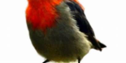 Burung Cabai Jenis Indonesia Kicau