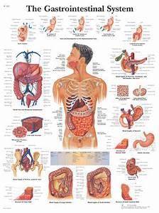 Human Anatomy Chart  Anatomical Charts  Skeletal System