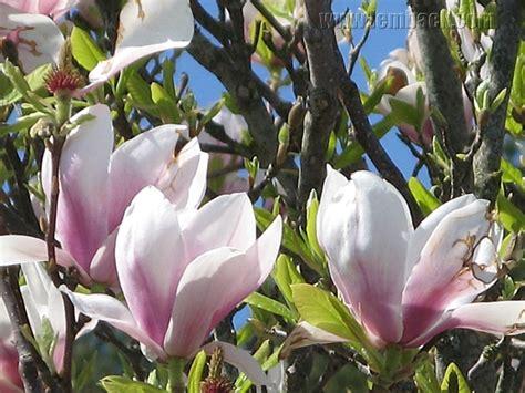 purple magnolia trees purple magnolia